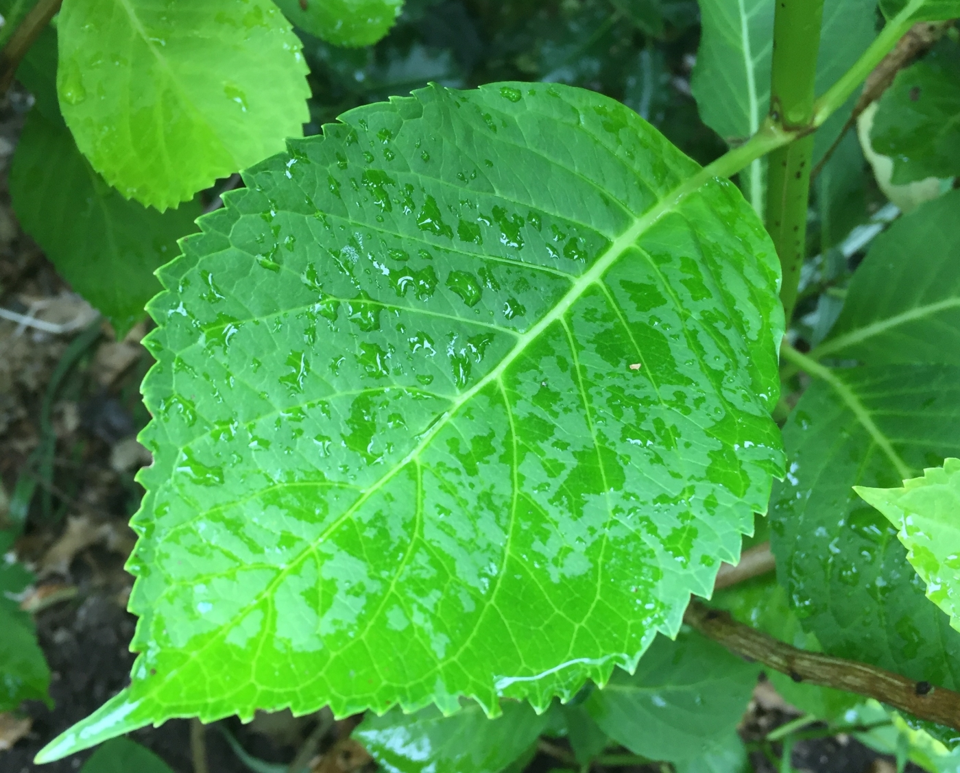 Large leaf plants like hydrangea can act as an umbrella for rainfall.