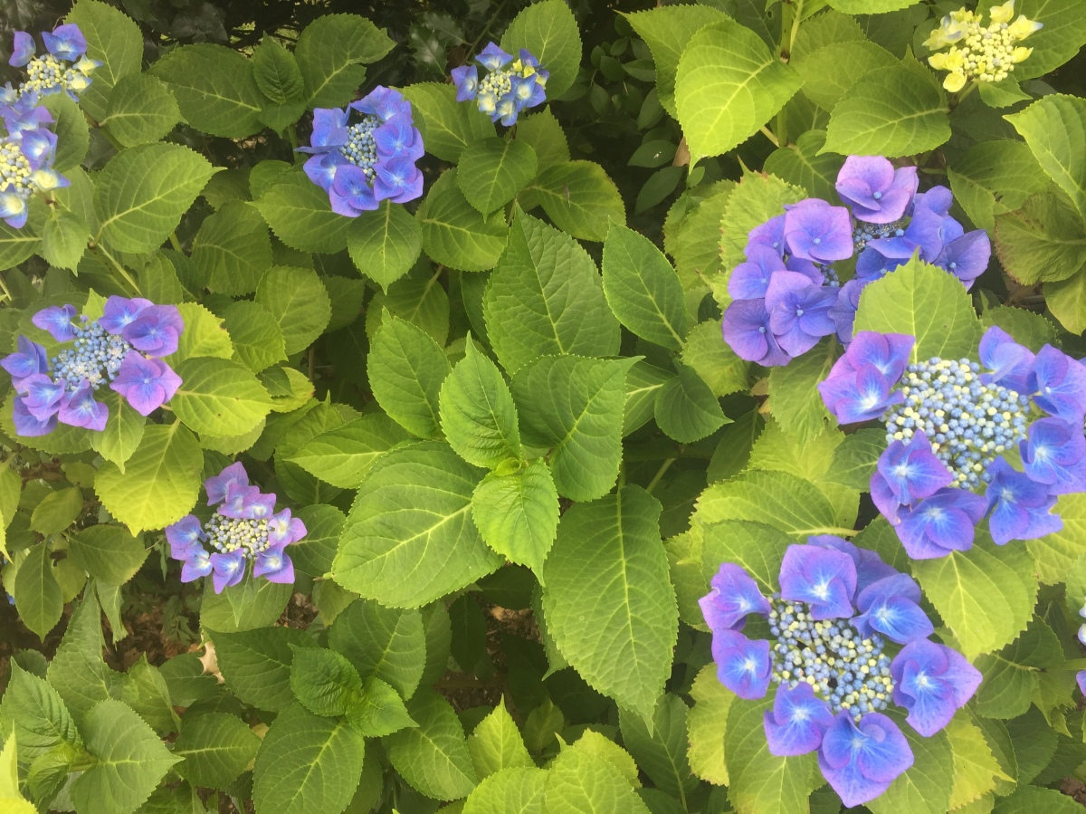 How do you keep a Blue Hydrangea Blue?