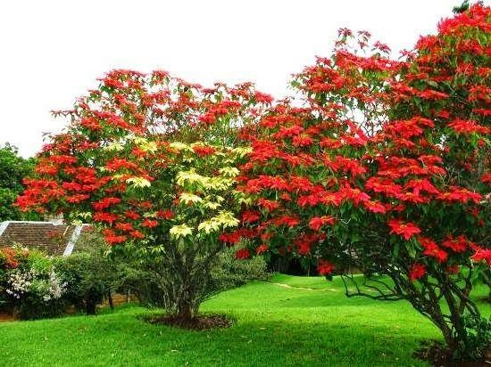 ponsietta trees